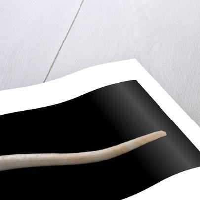 Dentalium vernedei by Corbis