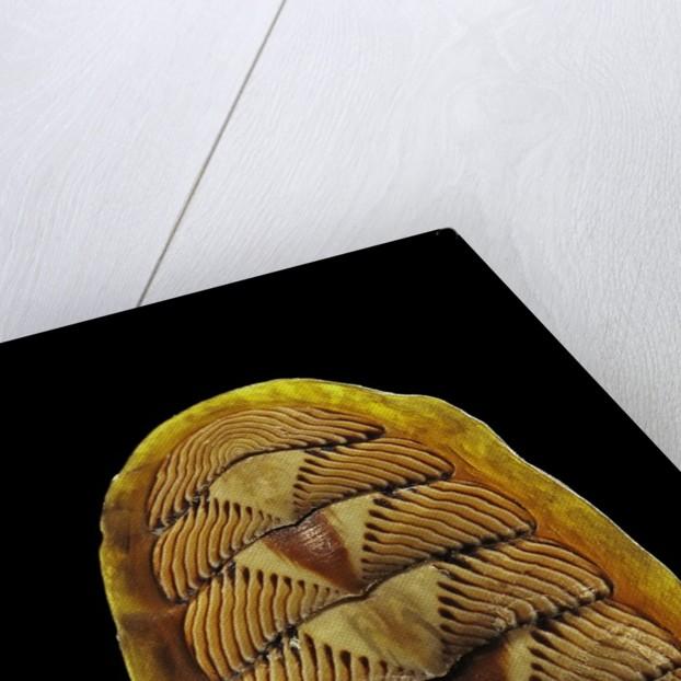 Tonicella lineata by Corbis