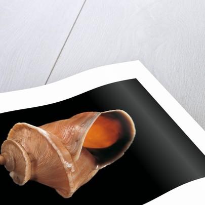 Bostryx weyrauchi by Corbis