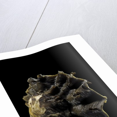 Lopha cristagalli by Corbis