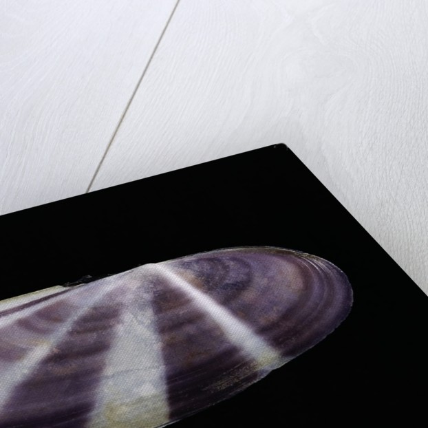 Siliqua radiata by Corbis
