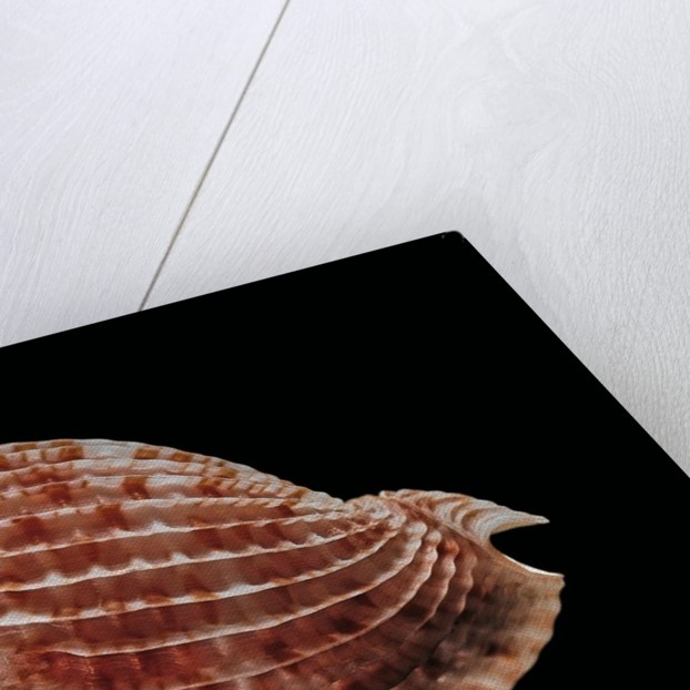 Austroharpa loisae by Corbis
