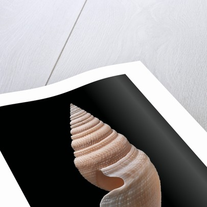 Bathytoma lühdorfi by Corbis