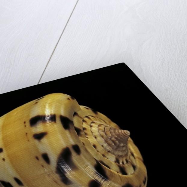 Conus betulinus by Corbis