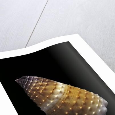 Conus muriculatus by Corbis