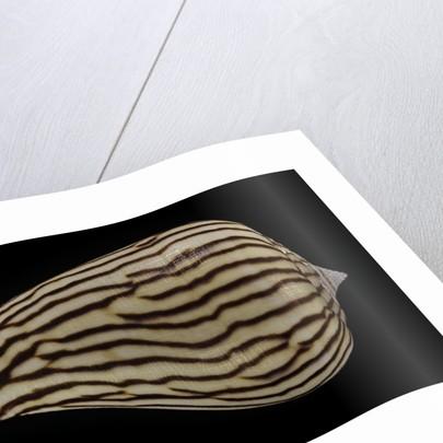 Conus zebroides by Corbis