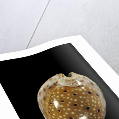 Cypraea ocellata by Corbis