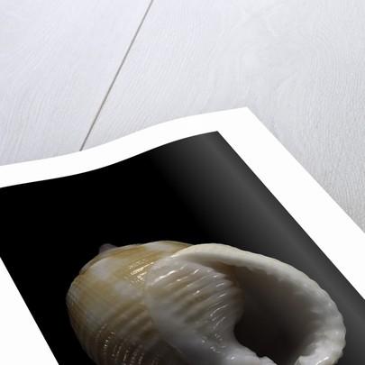 Demoulia obtusata by Corbis