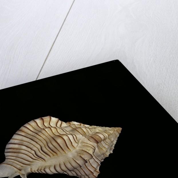 Haustellum hirasei by Corbis