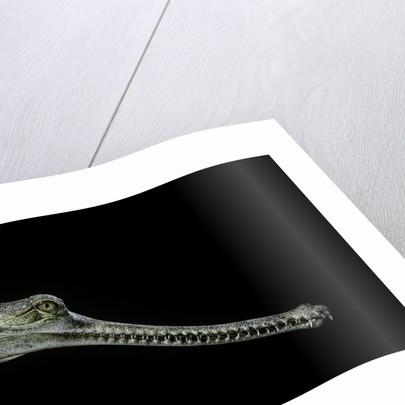 Gavialis gangeticus (gharial) by Corbis