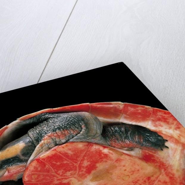 Emydura subglobosa (diamond-head turtle) by Corbis