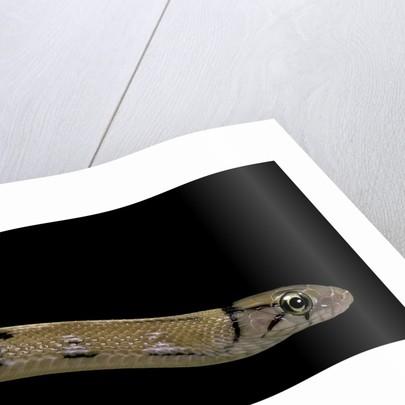 Elaphe radiata (Copperhead rat snake) by Corbis