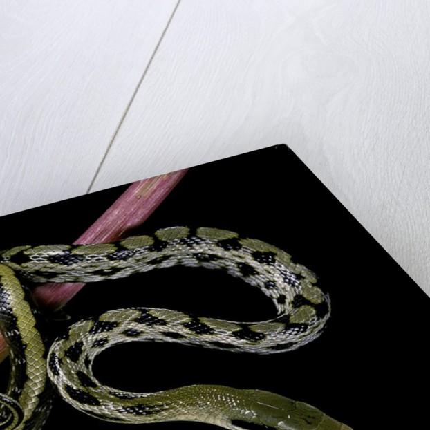 Elaphe taeniura friesi (Taiwan beauty snake) by Corbis