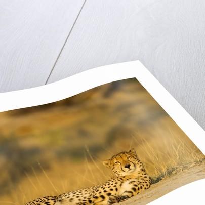 Cheetah, Moremi Game Reserve, Botswana by Corbis