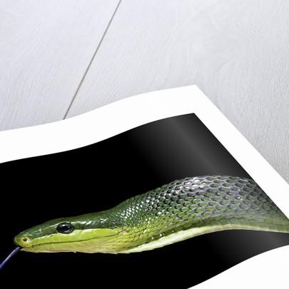 Gonyosoma oxycephala (red-tailed green rat snake) by Corbis