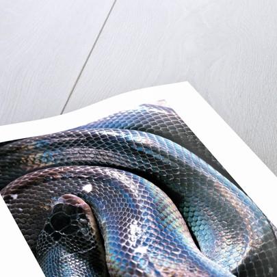 Loxocemus bicolor (mexican burrowing python) by Corbis