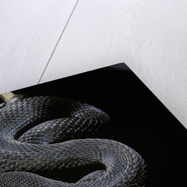 Vipera aspis f. melanistic (asp viper) by Corbis
