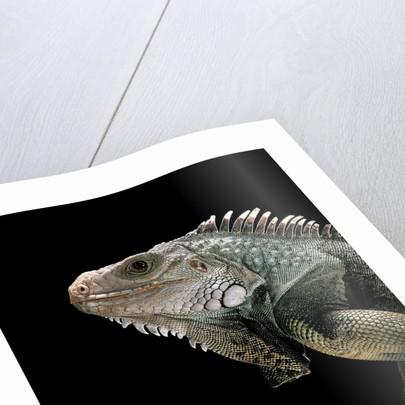 Iguana iguana (green iguana) by Corbis