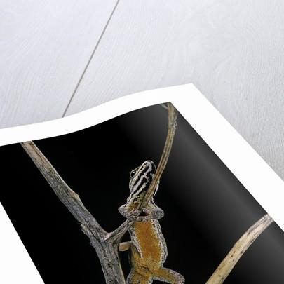 Lygodactylus gutturalis (dwarf gecko) by Corbis