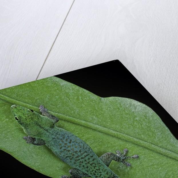 Phelsuma v-nigra (Indian day gecko) by Corbis