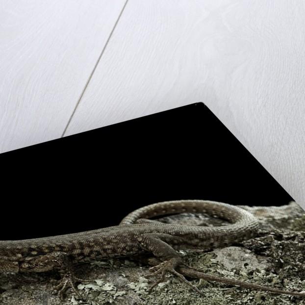 Podarcis muralis (common wall lizard) by Corbis