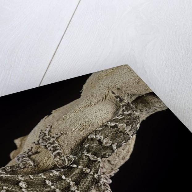 Teratolepis fasciata (carrot-tailed viper gecko) by Corbis
