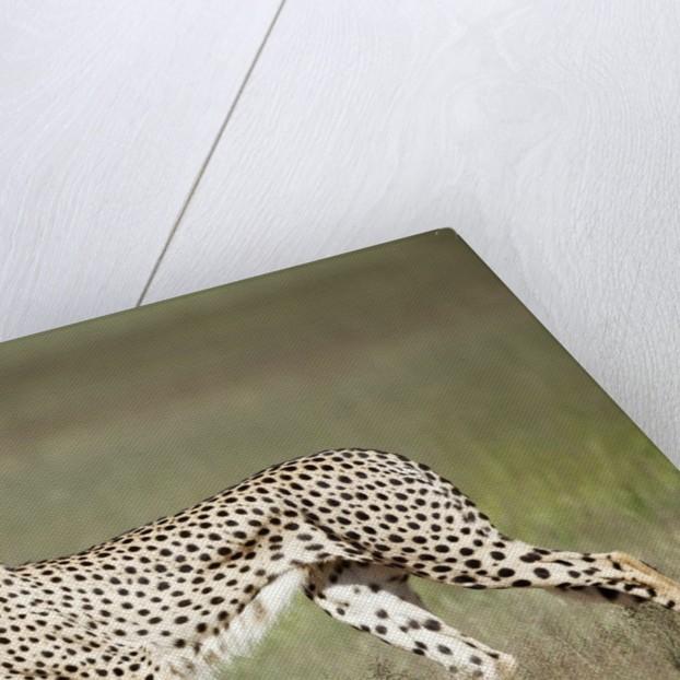 Cheetah with radio collar by Corbis