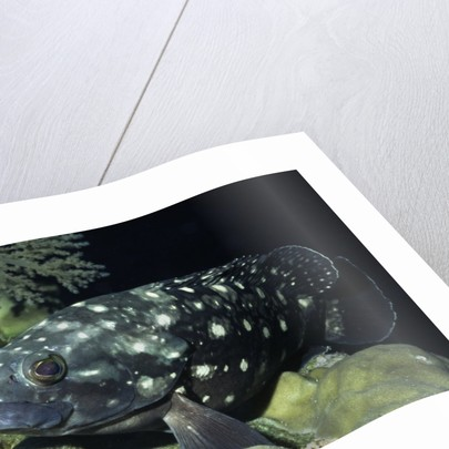 Whitespotted Grouper by Corbis