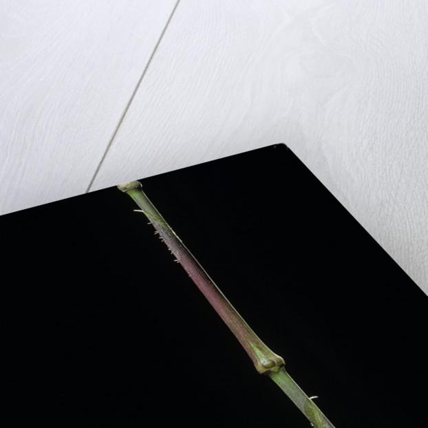 Chimonobambusa tumidissinoda (walking stick bamboo) by Corbis