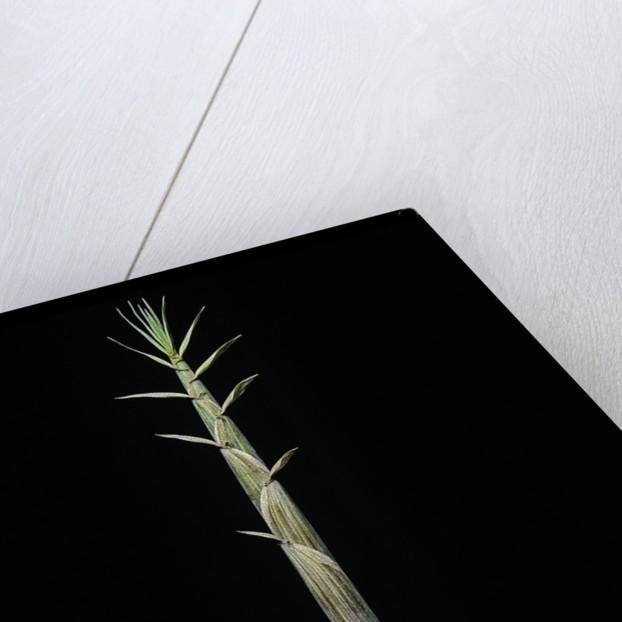Phyllostachys aureosulcata (yellow groove bamboo) - shoot by Corbis