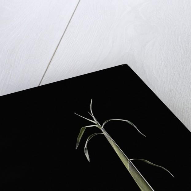 Semiarundinaria fastuosa (narihira bamboo) - shoot by Corbis