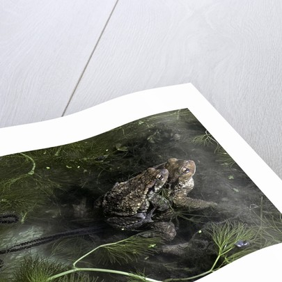 Bufo bufo (european toad, common toad) - mating by Corbis