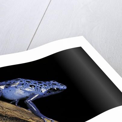 Dendrobates azureus (blue poison dart frog) by Corbis