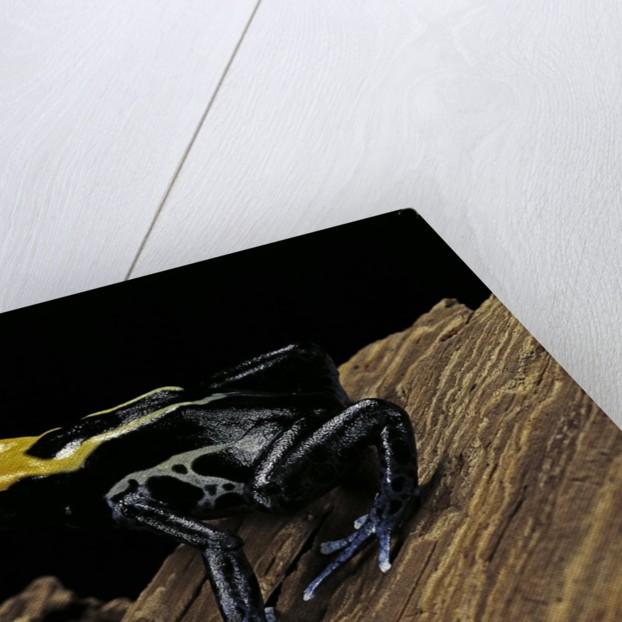 Dendrobates tinctorius f. brazil (dyeing poison dart frog) by Corbis