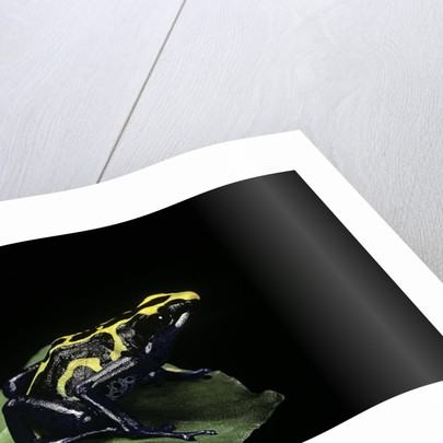 Dendrobates tinctorius (dyeing poison dart frog) by Corbis