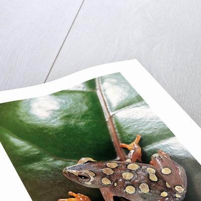 Hyperolius argus (argus reed frog) by Corbis
