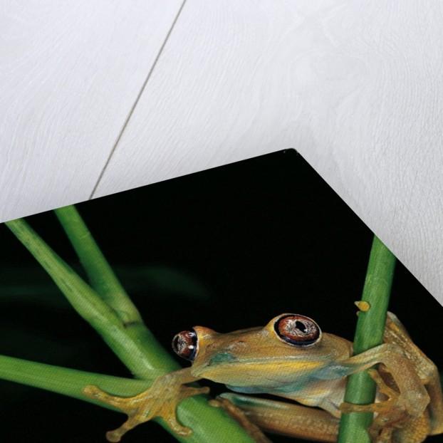 Leptopelis barbouri (Barbour's tree frog) by Corbis