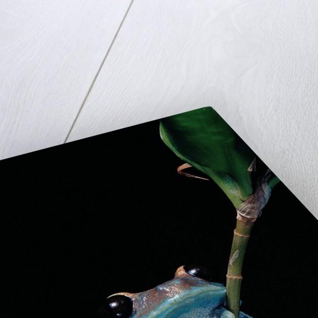 Leptopelis uluguruensis (Uluguru forest treefrog) by Corbis