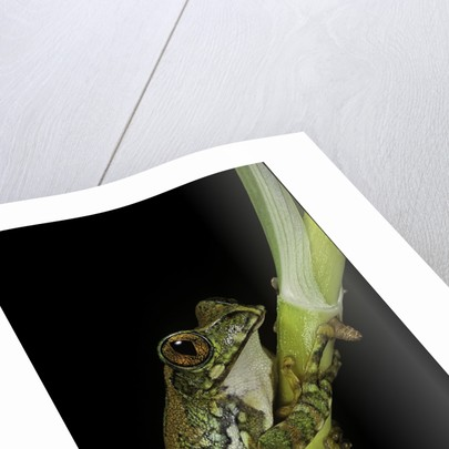 Leptopelis vermiculatus (Amani forest treefrog, big-eyed treefrog) by Corbis