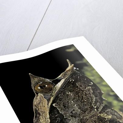 Megophrys nasuta (Malayan horned frog, long-nosed horned frog, Malayan leaf frog) by Corbis
