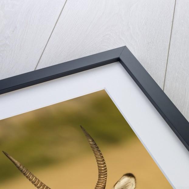 Defassa Waterbuck Portrait by Corbis