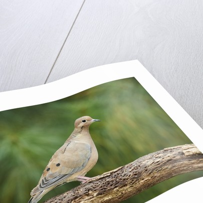 Mouring Dove by Corbis