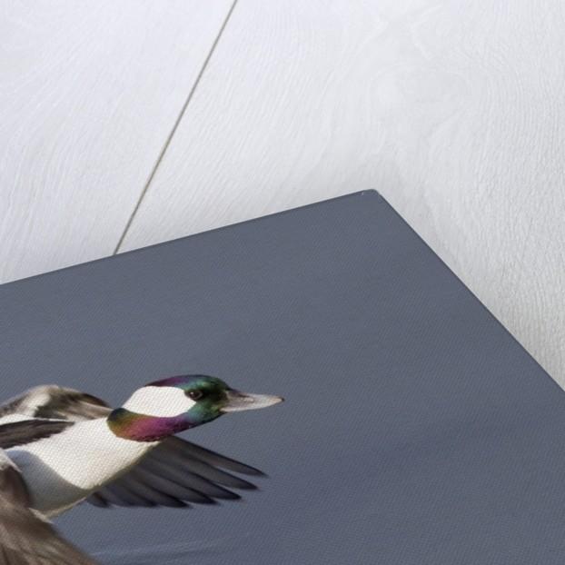 Bufflehead drake in flight by Corbis