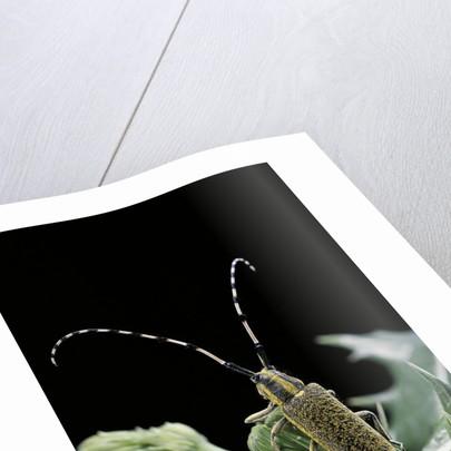 Agapanthia dahli (long-horned beetle) by Corbis