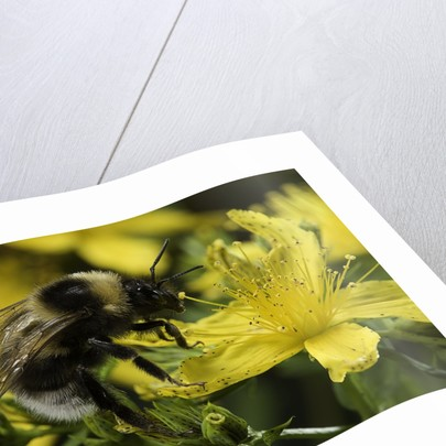 Bombus hortorum (small garden bumblebee) by Corbis