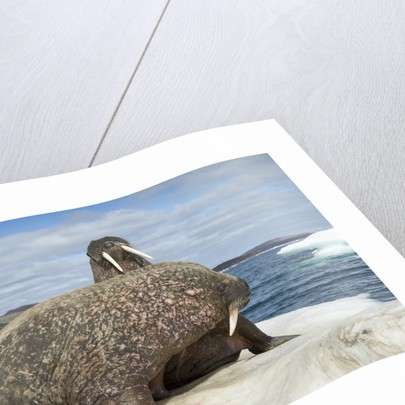 Walrus Resting on Ice in Hudson Bay, Nunavut, Canada by Corbis
