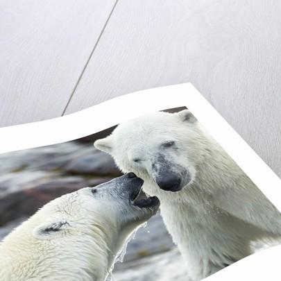 Polar Bears Sparring on Harbour Islands, Hudson Bay, Nunavut, Canada by Corbis