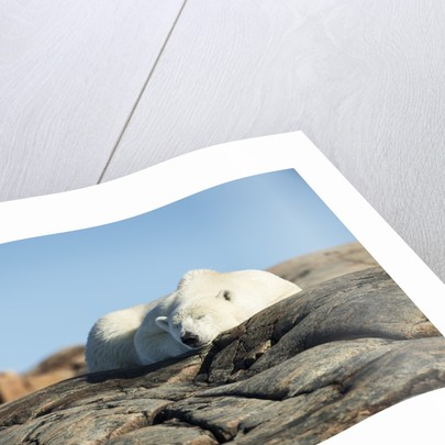 Polar Bear Sleeping on Harbour Islands, Hudson Bay, Nunavut, Canada by Corbis
