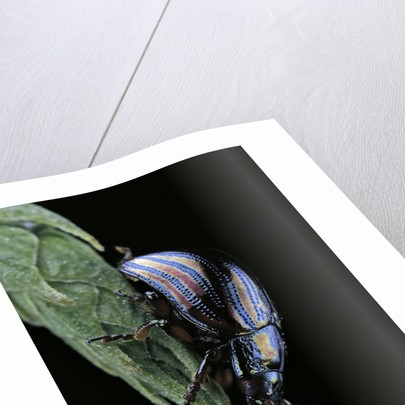 Chrysolina cerealis (rainbow leaf beetle) by Corbis