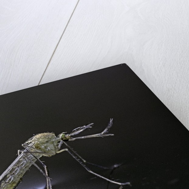 Culex pipiens (common house mosquito) - newly emerged from pupa by Corbis